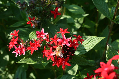 Bee butterfly weed