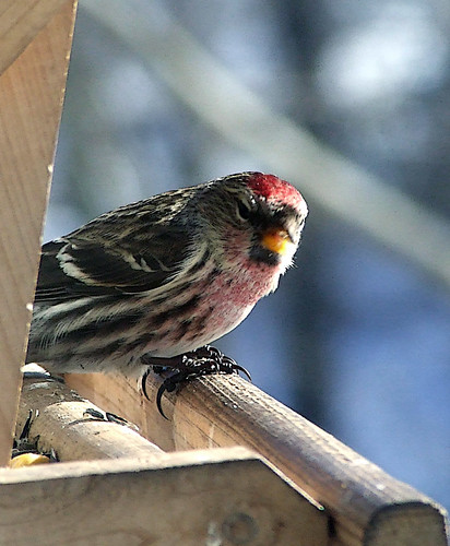 common redpoll 2