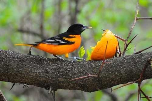 Baltimore Oriole and Orange