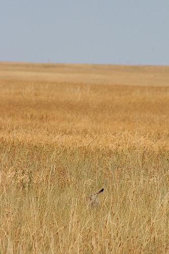 Black-tailed Jackrabbit, Badlands National Park, SD