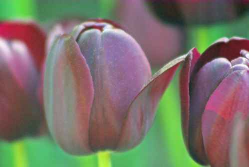 black tulips from Istanbul tulip festival by pentax k10d
