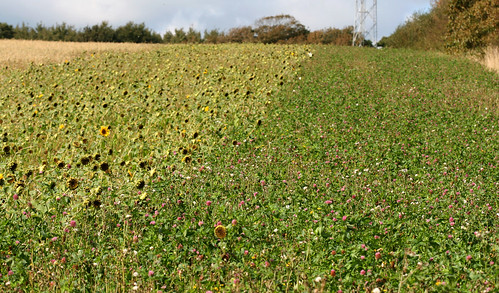 Arable Margins, Hastings Country Park Nature Reserve