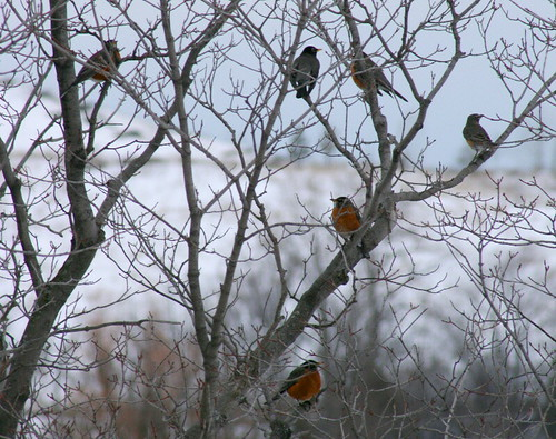 Flock of robins