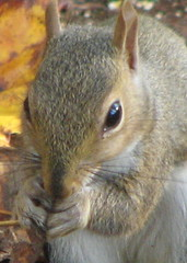 Saying grace?  Eastern Gray Squirrel immature ...