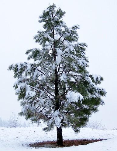 Ponderosa and snow