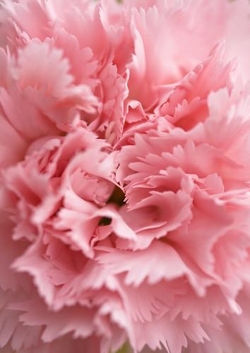 Pink Flower - Macro