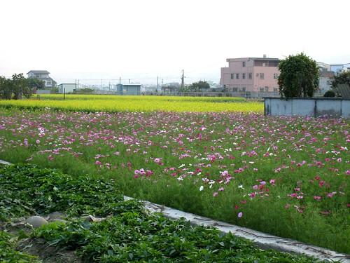 波斯菊與油菜花田