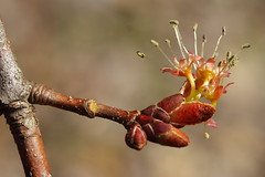 Red Maple Blossom - all anthers, no stigma - a boy flower!