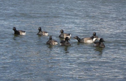 Brant in the East River