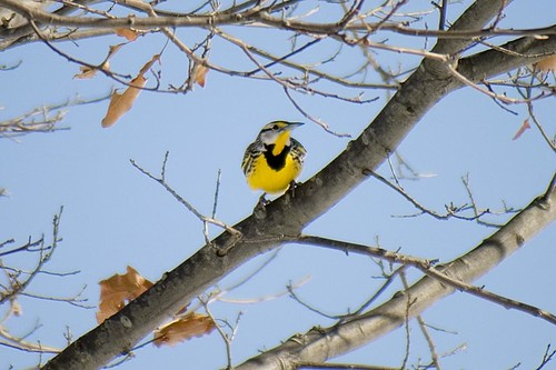 Eastern Meadowlark in Tree