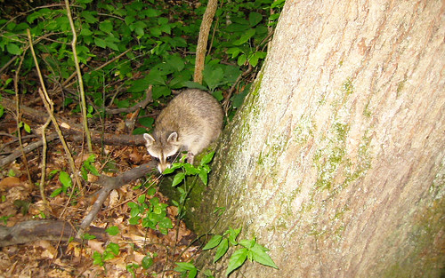 20070730 - raccoon 2 - IMG_2869 - Raccoon is free