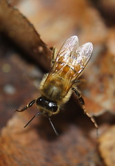 Honeybee Scout