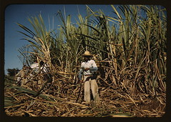 Sugar cane worker in the rich field, vicinity ...