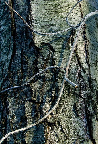 black birch