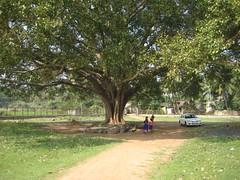 1.Mammooth Peepul tree