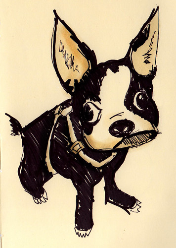 Bruno the Boston Terrier