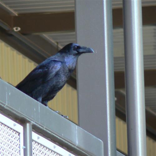 BCE Raven