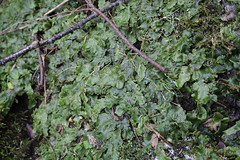 Snake Liverwort - a whole patch of it
