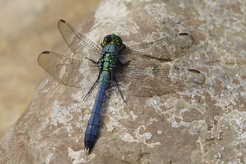 Eastern Pondhawk - 300mm Lens