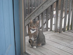 neighborhood tabby