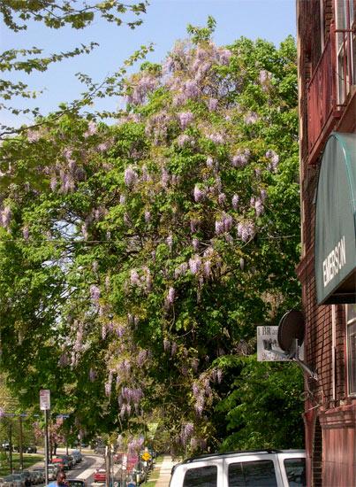 a whole treeful of wisteria