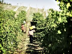 Wine Harvest II
