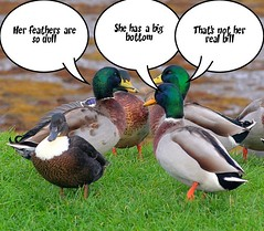 Gossiping Ducks., by foxypar4 @ Flickr