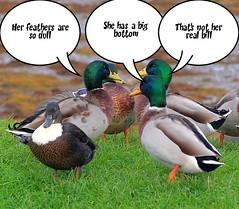 Gossiping Ducks., by foxypar4 @ Flickr