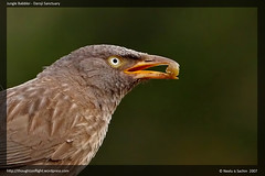 Jungle Babbler Closeup