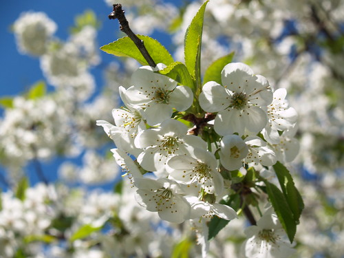 Blue Sky and Blossoms and Bokeh by Andy McFarlane