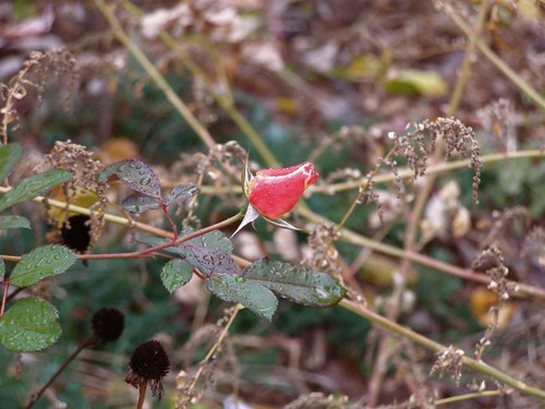 Another rosebud