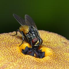 fly on flower