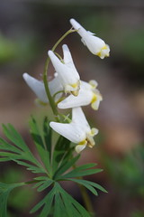 Dutchman's Breeches Plant