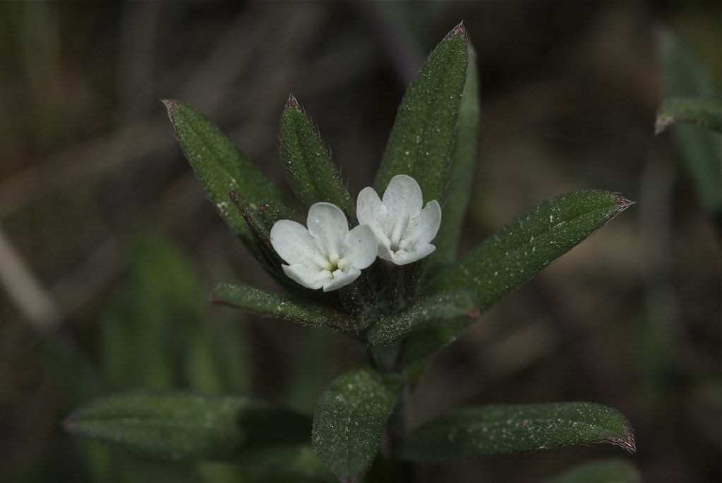 Western Stickseed
