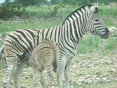 Zebra Momma and Baby