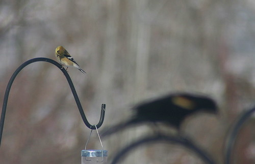 American Goldfinch and Red-winged Blackbird