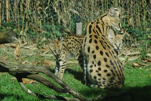 Servale im Zoo de La Flèche