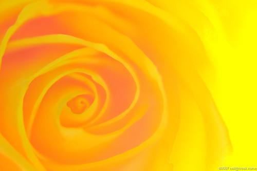 Backlit yellow rose macro
