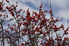 Winterberry or Winterberry Holly