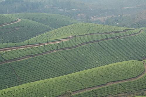 Tea plantations, Tamil Nardu, India