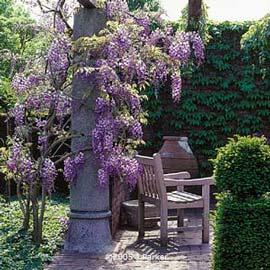wisteria-chinensis-2.jpg