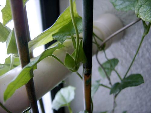 black eyed susan vine