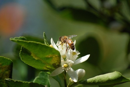 Another bee, another blossom