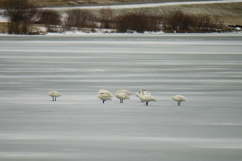Tundra Swans - Sleeping