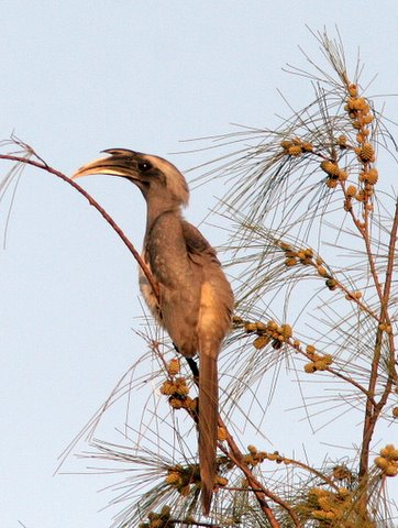 indian grey hornbill pune 181207 sindh society cosy retreat