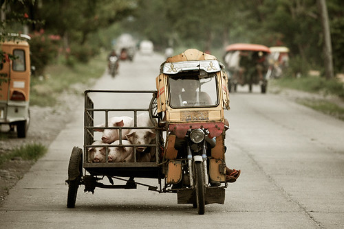 livestock transport by tricycle, pigs, piglets in Tabuk, Kalinga, Cordillera Philippines Buhay Pinoy  Filipino Pilipino  people pictures photos life Philippinen