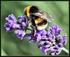 Bee on English Lavender by maggie230