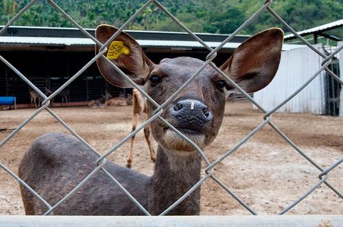 Formosa Deer