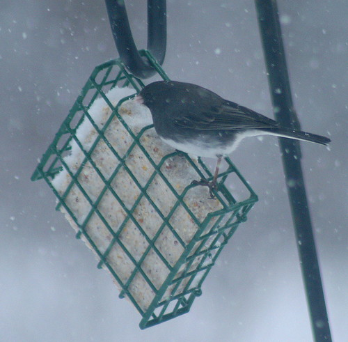 Junco at suet