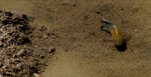 Salt Creek Pupfish Death Valley